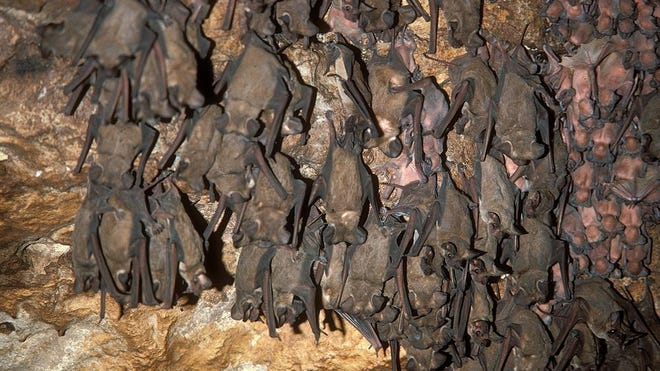 Roosting Mexican free-tailed bats and pups.