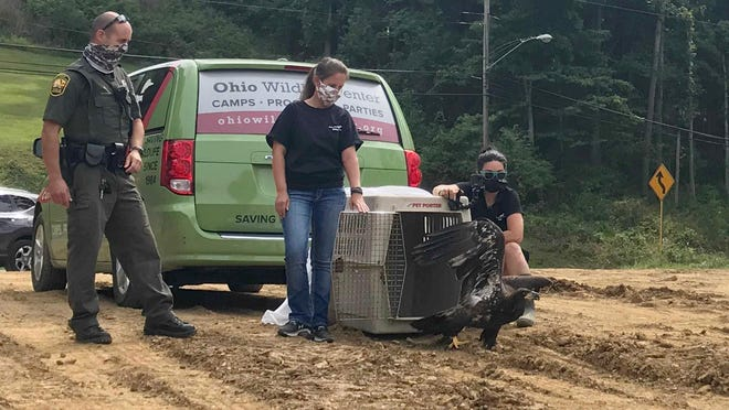 A juvenile bald eagle is released into the Newark area on Wednesday after being treated for a broken wing.