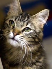 Lana is a beautiful, young, female domestic short hair