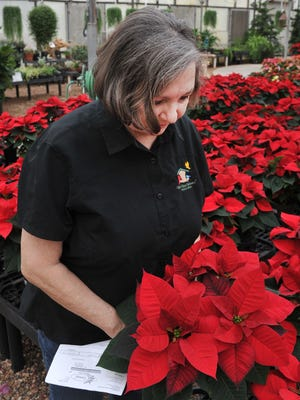 Smith's Gardentown Farm, owner, Katherine Smith looks over poinsettias that are ready to be bought at their farms located on Seymour Highway in this file photo. Smith said their locally grown poinsettias crop is ready for holiday giving.