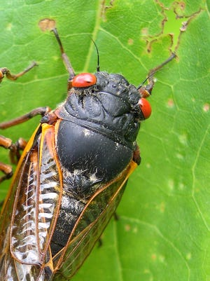 A cicada appears in Pipestem State Park in West Virginia on May 27, 2003.