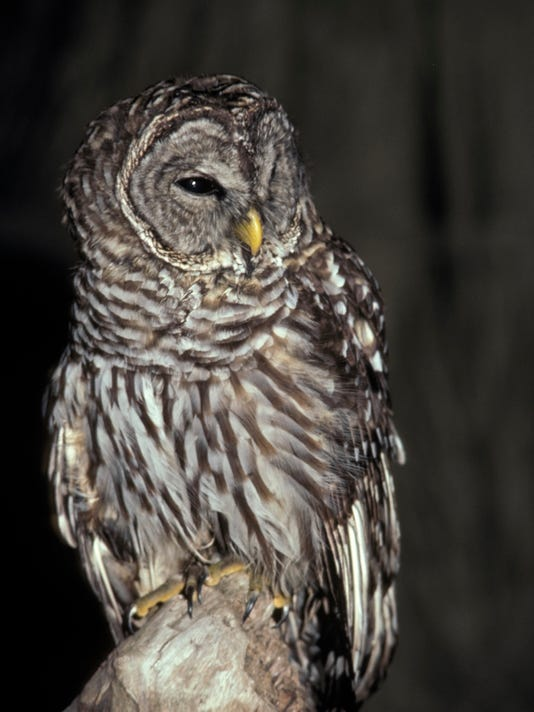 636129152718980525-Barred-owl-04.jpg
