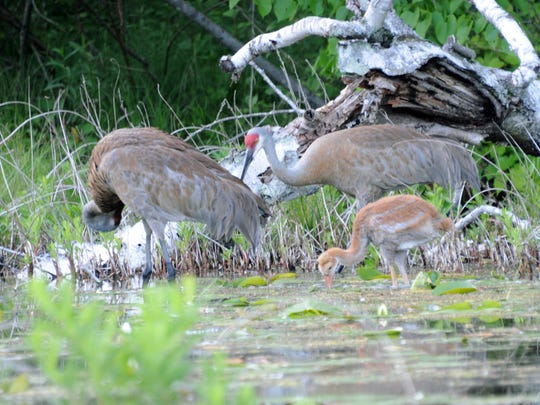 Birdwatching teams look and listen for birds large and small while competing in the Great Wisconsin Birdathon, which is held annually April 15 to June 15. Seen here are sandhill cranes.