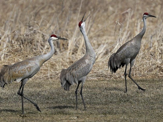 A group of sandhill cranes walk on Monday along a wetland