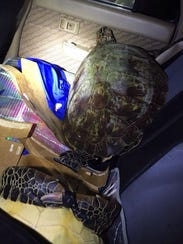 Two green sea turtles were reportedly found in the
