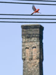 A cardinal flies by a remaining building at the derelict