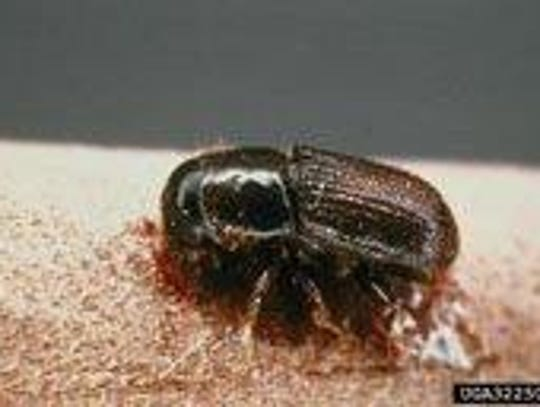 File photo The Southern pine beetle.