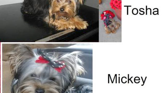 Mickey and Tosha, two Yorkshire Terriers, were stolen from a residence on Shenny Lane in West Manchester Township at approximately 4 p.m. March 29.