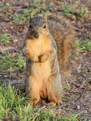 A squirrel stands upright in Lemon Park as he watches a walker that has interrupted his hunt for nuts. Some squirrels have gotten used to people and will continue to hunt and eat when a person is near or even stand up and watch them go by.