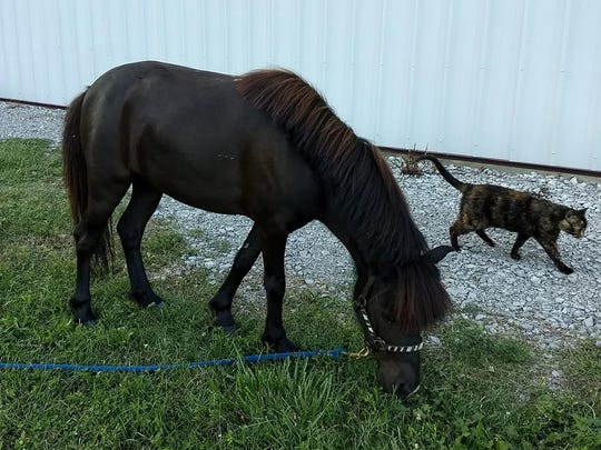 This miniature horse is being housed by Regina Lykins
