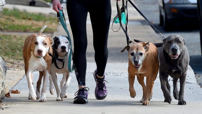 Ambrose, Athena, Maximus and Ares keep up with their owner, walking alongside Jessica Wenger of Staunton who controls their leashes. They get in a bit of exercise, walking along West Beverley on Thursday, Jan. 26, 2017.