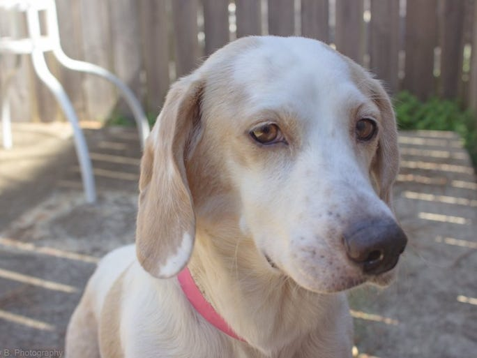 Peggy Sue is a 1-year-old spayed beagle. She came to the Humane Society of the Tennessee Valley as a mom, and with the help of donors and fosters, they were able to provide for Peggy Sue and her pups until they became ready for adoption. Peggy Sue has a wonderful personality and would make a great addition to any family. For more information, call 865-573-9675 or visit http://humanesocietytennessee.com/. HSTV is located at 6717 Kingston Pike.