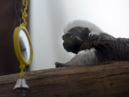 A cotton-headed tamarin, part of a large family at the Bergen County Zoo, takes a look at its reflection in the mirror.