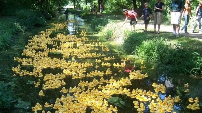 Thousands of ducks are released at a previous Bullfinchs' charity Duck Race. The race is canceled this year due to the coronavirus this year.