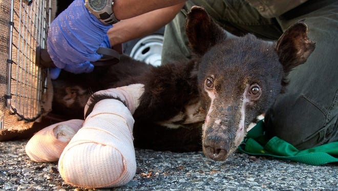 In this Aug. 4, 2014 file photo, a female bear cub with badly burned paws who had been named Cinder is put into a crate before a flight from East Wenatchee, Wash., to Lake Tahoe, Calif.