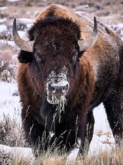 Montana wildlife officials say 70 bison have been shot
