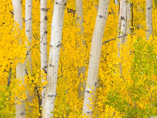Aspen trees leaves are starting their fall colors on