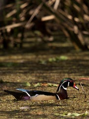 A male wood duck feeds at CREW Land and Water Trust Bird Rookery Swamp on Monday. The bright bird can be seen in heavily wooded wetlands and are hard to see.