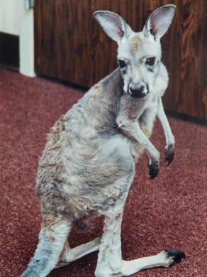 1991: Trooper a baby kangaroo explores his surroundings.