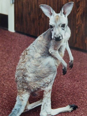A baby kangaroo explores his surroundings.