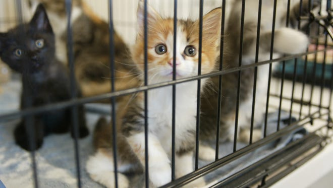 Kittens are kept in a cage at a Humane Society shelter.