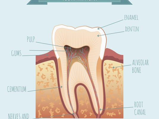 Vector tooth anatomy
