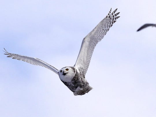 A snowy owl flies past a seagull after being released