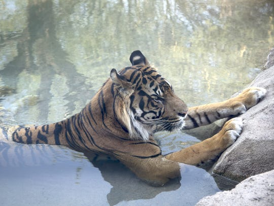 Jai, a male sumatran tiger, cools off in a pond at