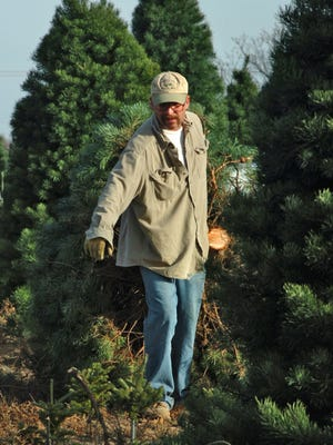 Brian Sauer drags a cut and trimmed tree at Jan's Cut Your Own & Sand Country Christmas Trees near Clear Lake in November 2006.