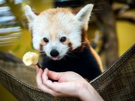 Red pandas at Zoo Knoxville are given frozen pieces of fruit and can hang out in an air-conditioned enclosure on hot days.