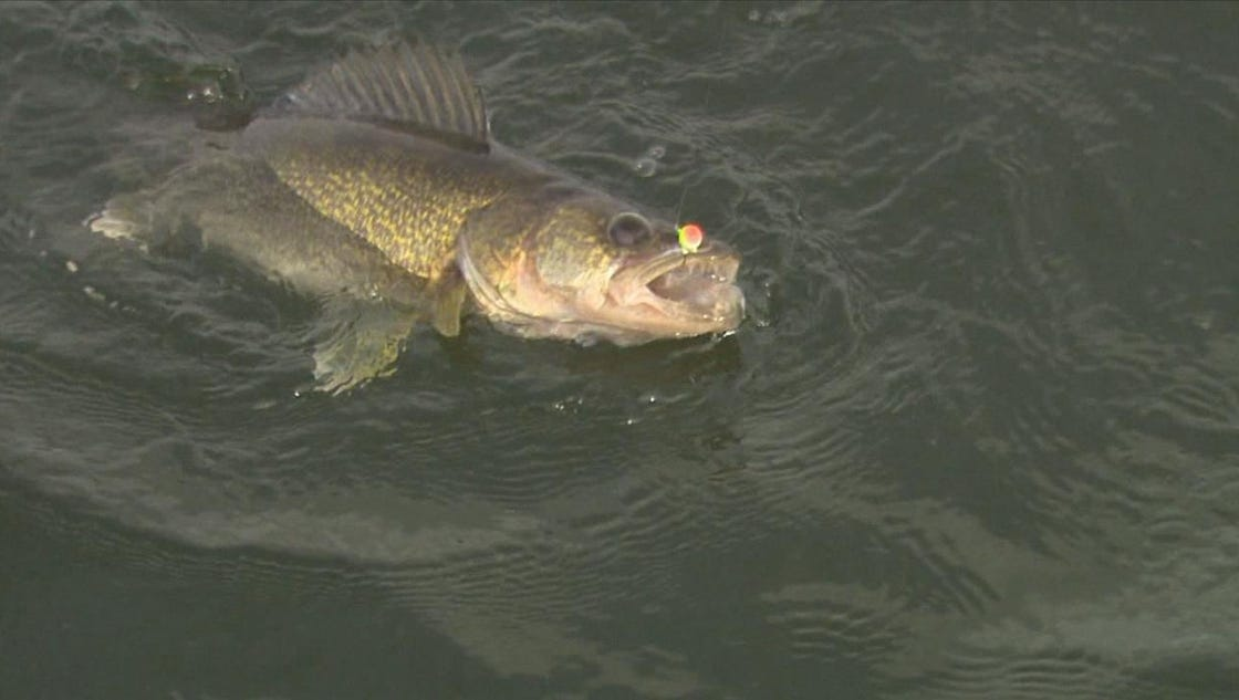 Walleye fishing on mille lacs lake ends monday night for Mille lacs fishing