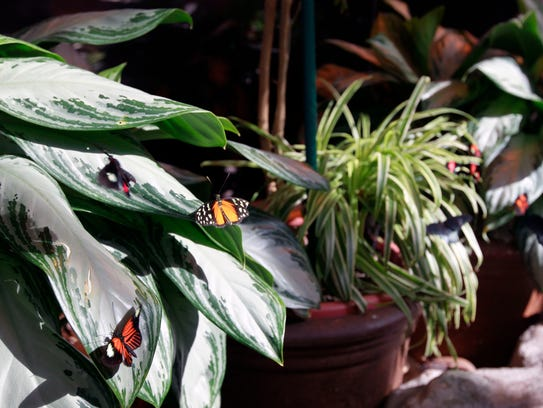 A butterfly exhibit at the Milwaukee Public Museum.