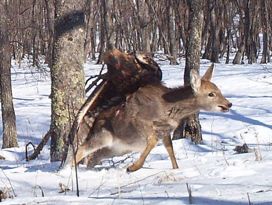 Eagle Caught On Camera In Rare Attack A Deer