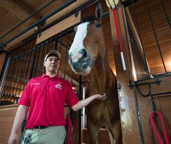 Behind the scenes with Budweiser Clydesdales