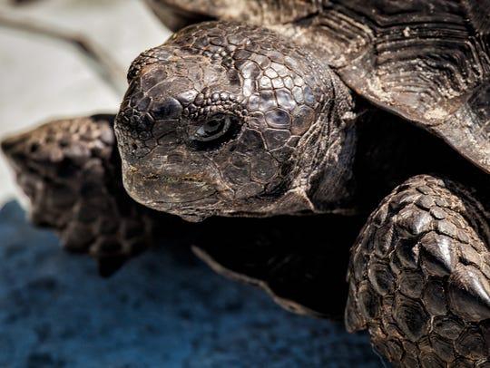 Gopher tortoise (gopherus polyphemus) has been living