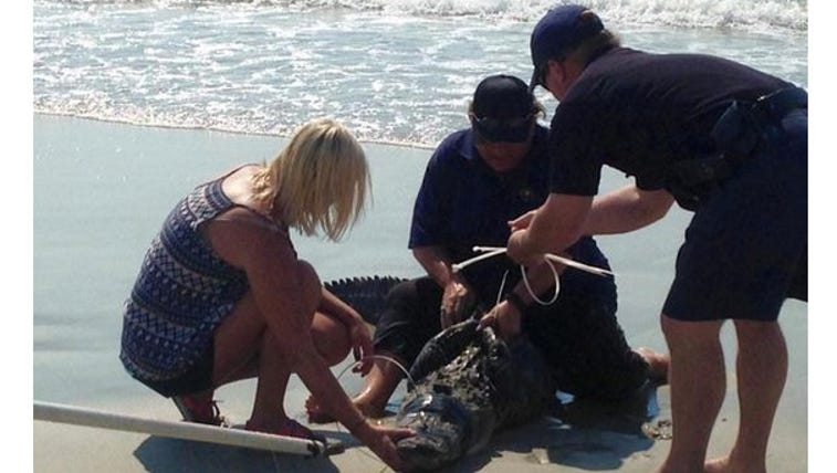Pawleys Island Police Department remove alligator from