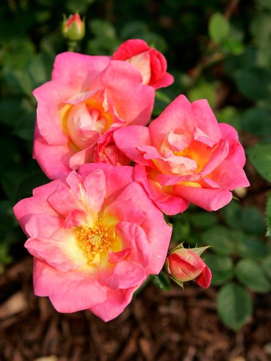 rose09, cue, sieu, 2