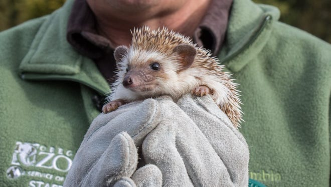 Velda, the African hedgehog, did not see her shadow at the Oregon Zoo and an early spring is predicted.