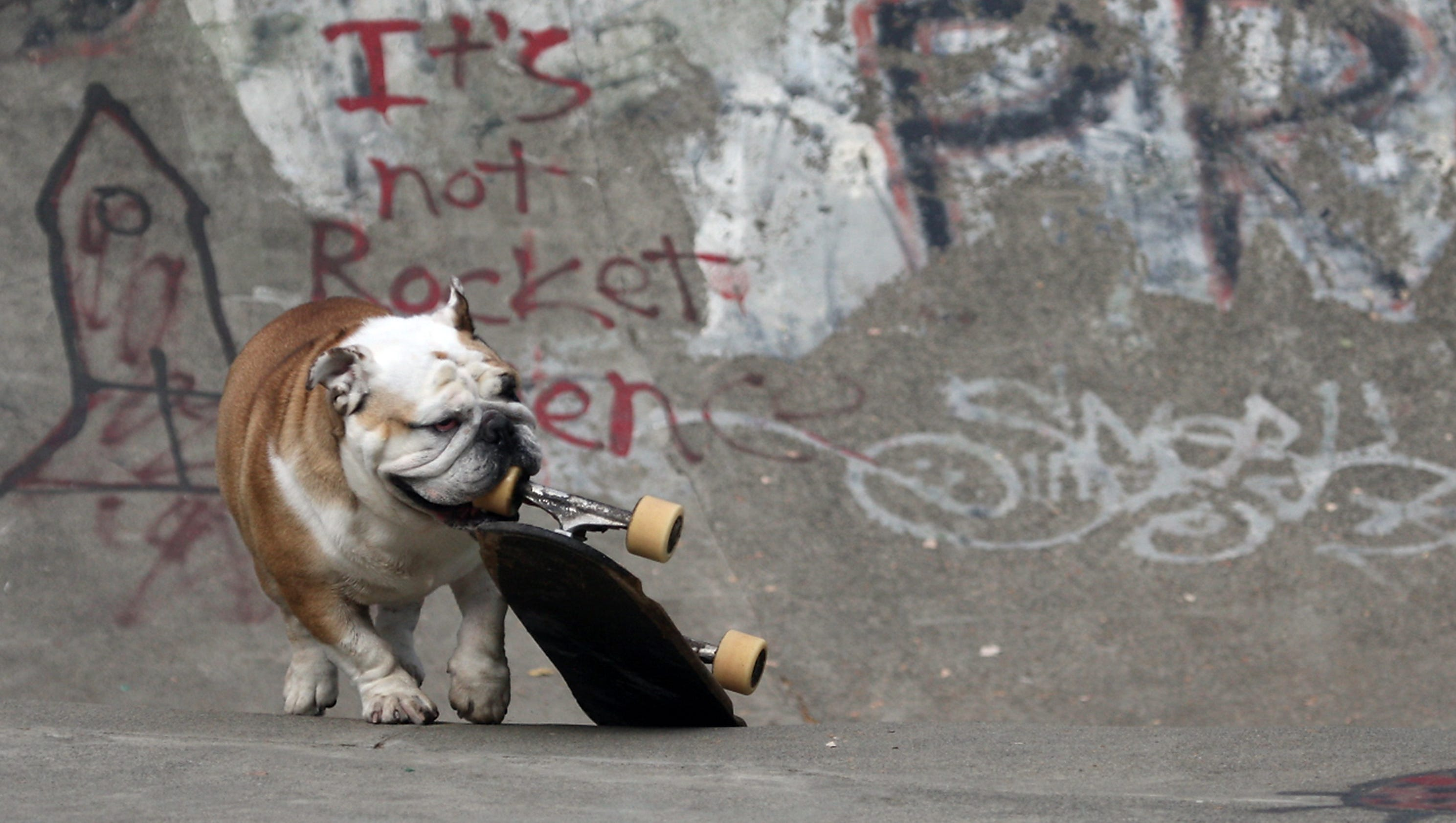 Image result for skateboarding bulldog
