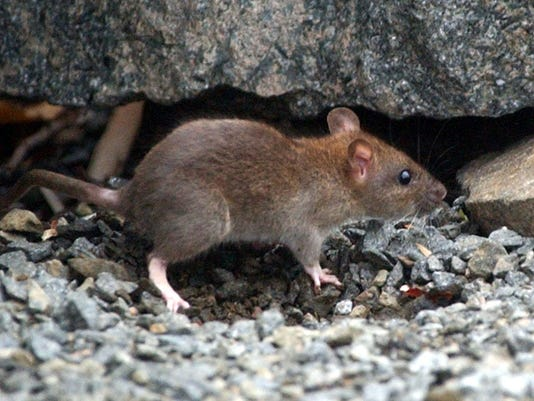 Rats File Photo