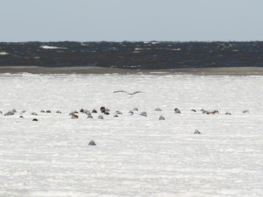 Birds resting on the frozen water at Lewes Beach.