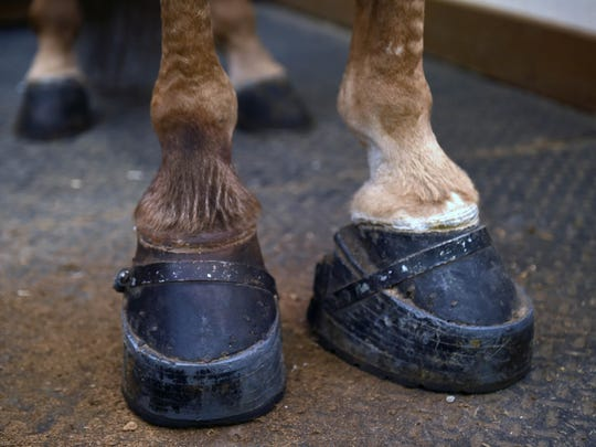 A horse trainer demonstrates how to cover up soring scars on a Tennessee walking horse's foot by using color enhancers and hair fibers. The left foot is enhanced; the right one is not.