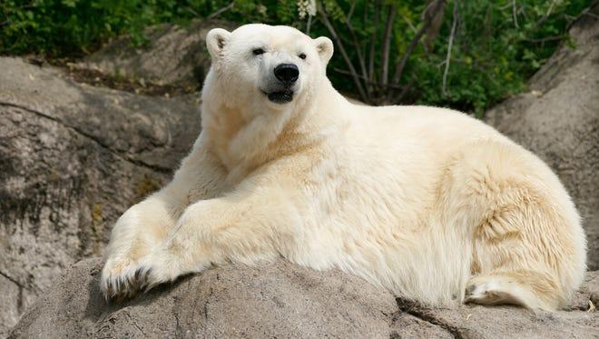Tundra the polar bear.