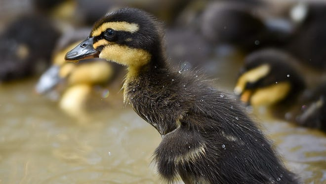 A New Hampshire woman was fined $100 for stopping in the median to help ducklings whose mother was hit by a car.
