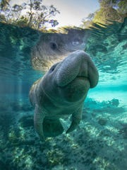 A Manatee in the Crytal River, Florida.