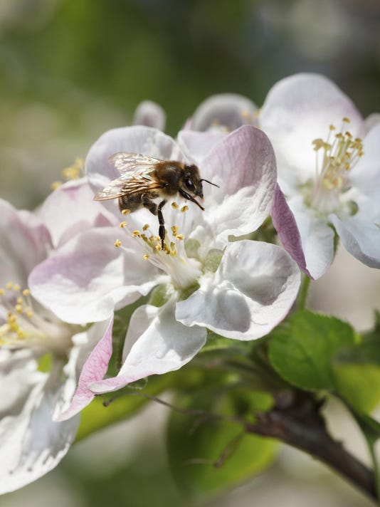 Bee and apple blossoms