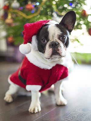 French bulldog dressed up in santa costume