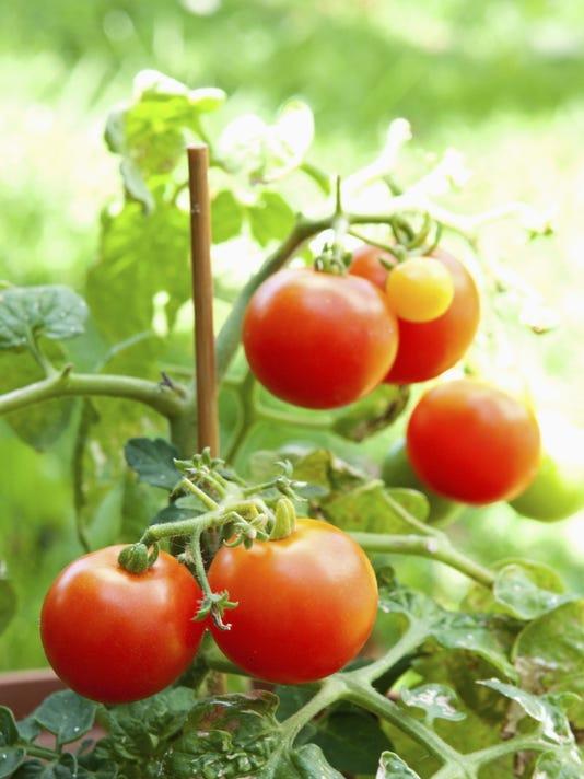 635959851797541330-Tomato-Plant.jpg