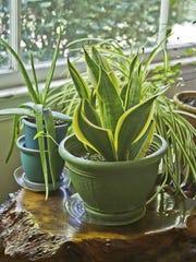 Sanseviera and spider plant.jpg