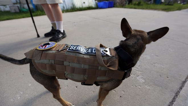 """In this file photo, service dog """"Murphy"""" in Two Rivers wears a service dog vest."""